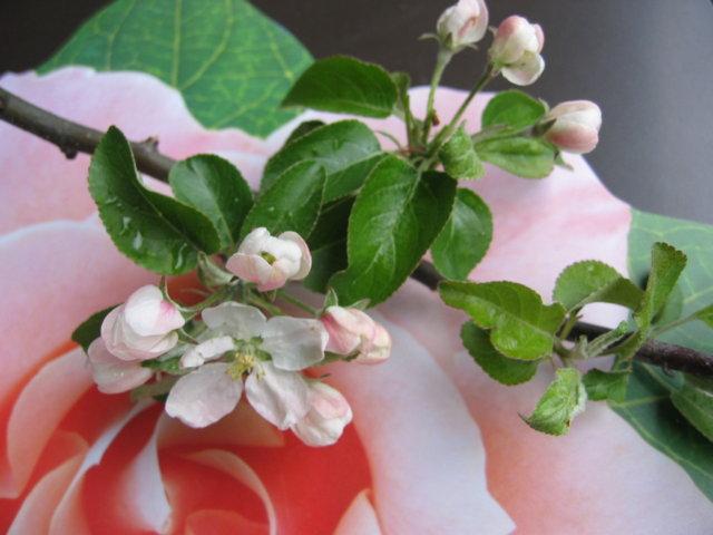 Omenaisen hyvää boolia, alkohoolilla 1